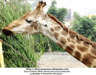 Foto de cerca de la jirafa por Jesus Gómez