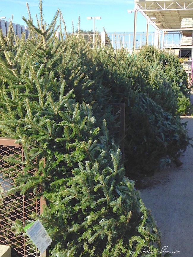 live-christmas-tree-buying-tips
