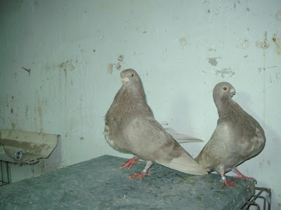 Boulant Rafeno - rafeno cropper - fancy pigeons - pigeon pictures