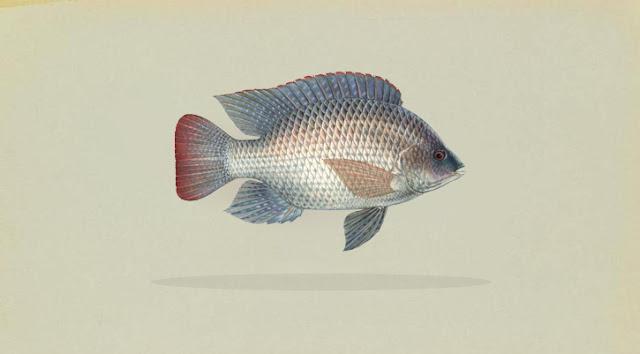 Klasifikasi dan Morfologi Ikan Nila