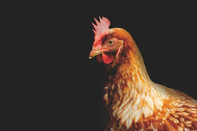 Harga Bibit Ayam Petelur