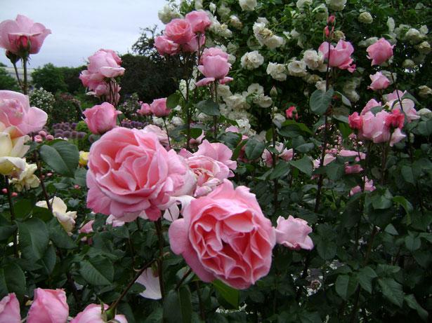 Blumensprache Rosen Gedichte