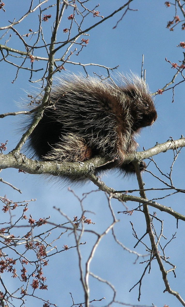 Picture of a Canadian porcupine on a tree.