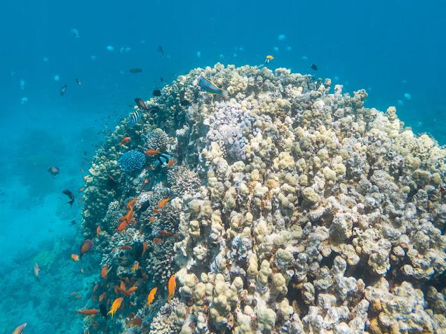 Cientos de peces en los corales del Japanese Garden, Aqaba, mar Rojo, Jordania
