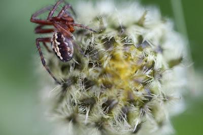 A spider on an [Asteraceae] Centaurea flower bud.