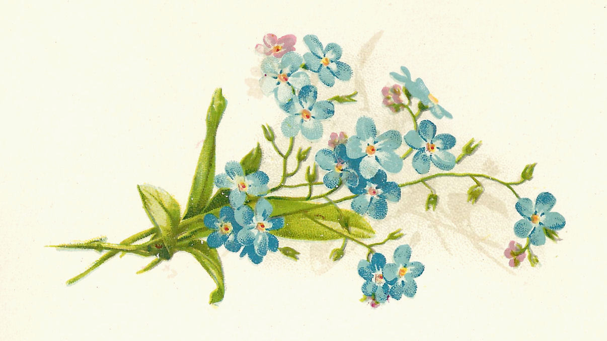 clip art forget me not flower - photo #10