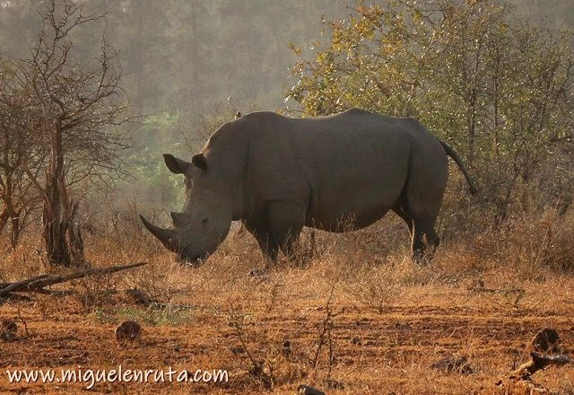 Rinoceronte-Lower-Sabie-Kruger
