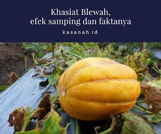 buah blewah yang belum dipetik
