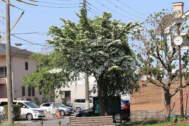 ヤマボウシが咲き乱れ