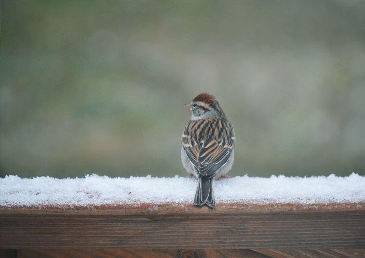 The Flying Clubhouse: Evening Out | chipping sparrow
