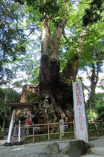 來宮神社のご神木