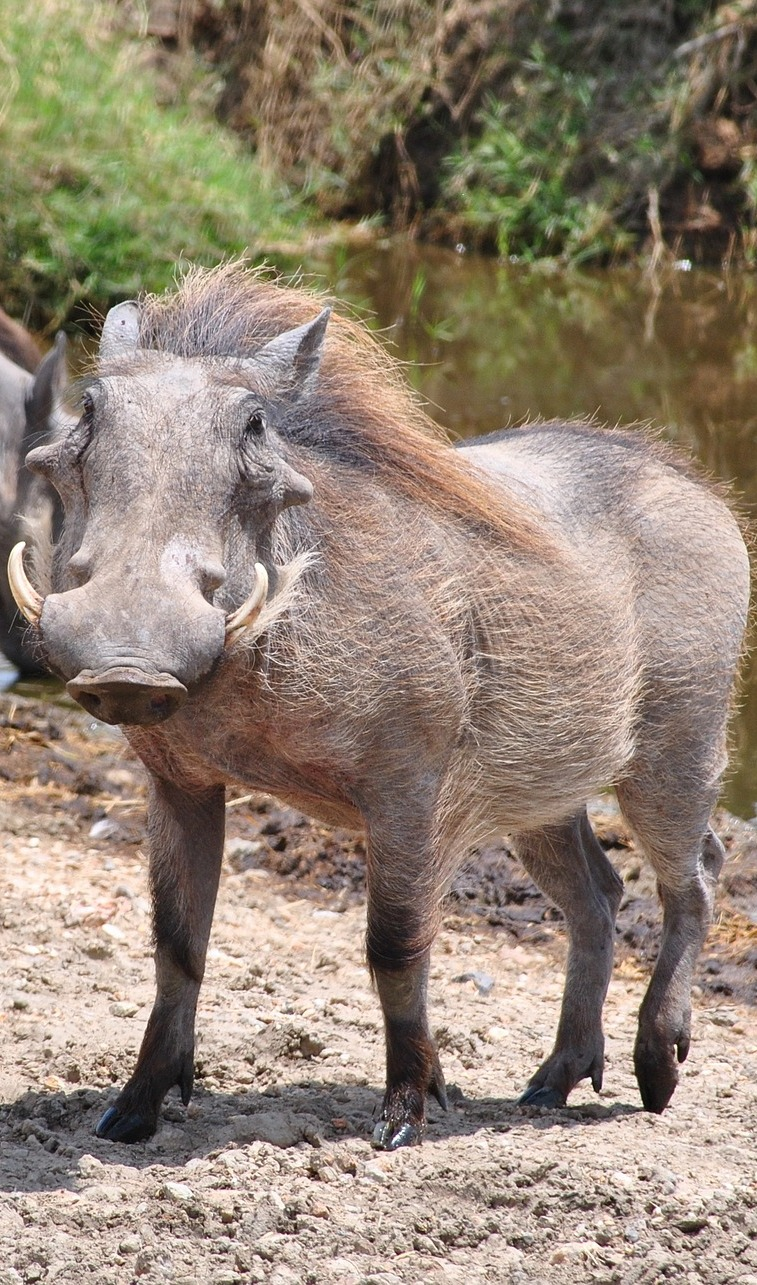 Warthog funny face.
