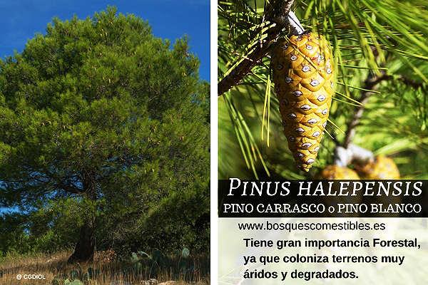 Pinus halepensis de gran importancia Forestal, coloniza terrenos áridos y degradados