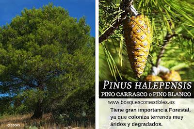 Gran importancia Forestal, coloniza terrenos áridos y degradados