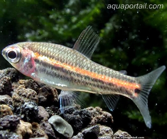 three-lined African tetra, Neolebias trilineatus
