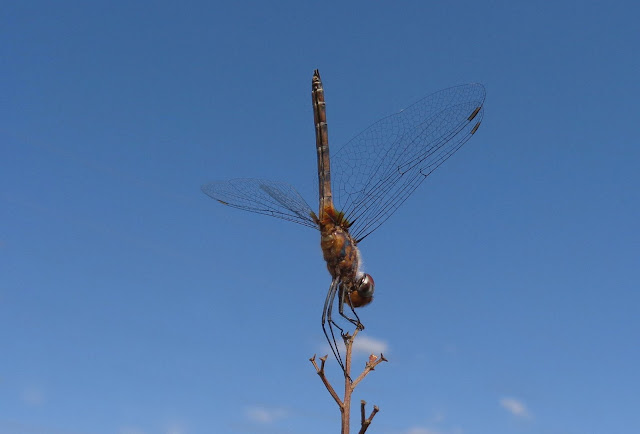 Dragonfly doing a handstand at Brian Piccolo Park in Cooper City