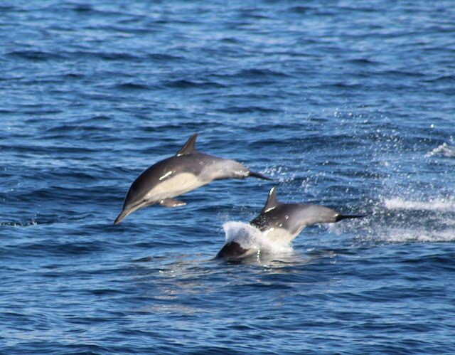 Common Dolphins Playing
