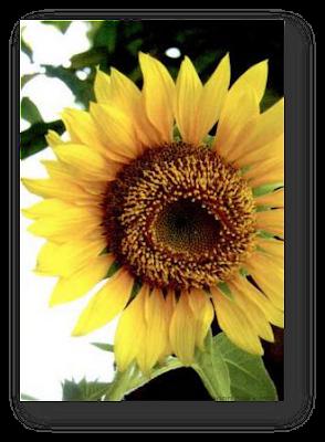 Bunga matahari. Bentuk bunganya menyerupai tabung
