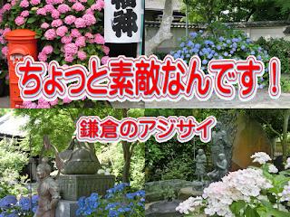 ちょっと素敵なんです鎌倉のアジサイ