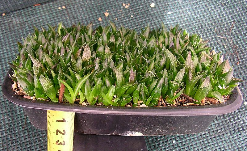 Eigh Month Old Haworthia Seedlings Still Growing Hy End Densely Crowded In A Shallow 25 Mm Deep Tray