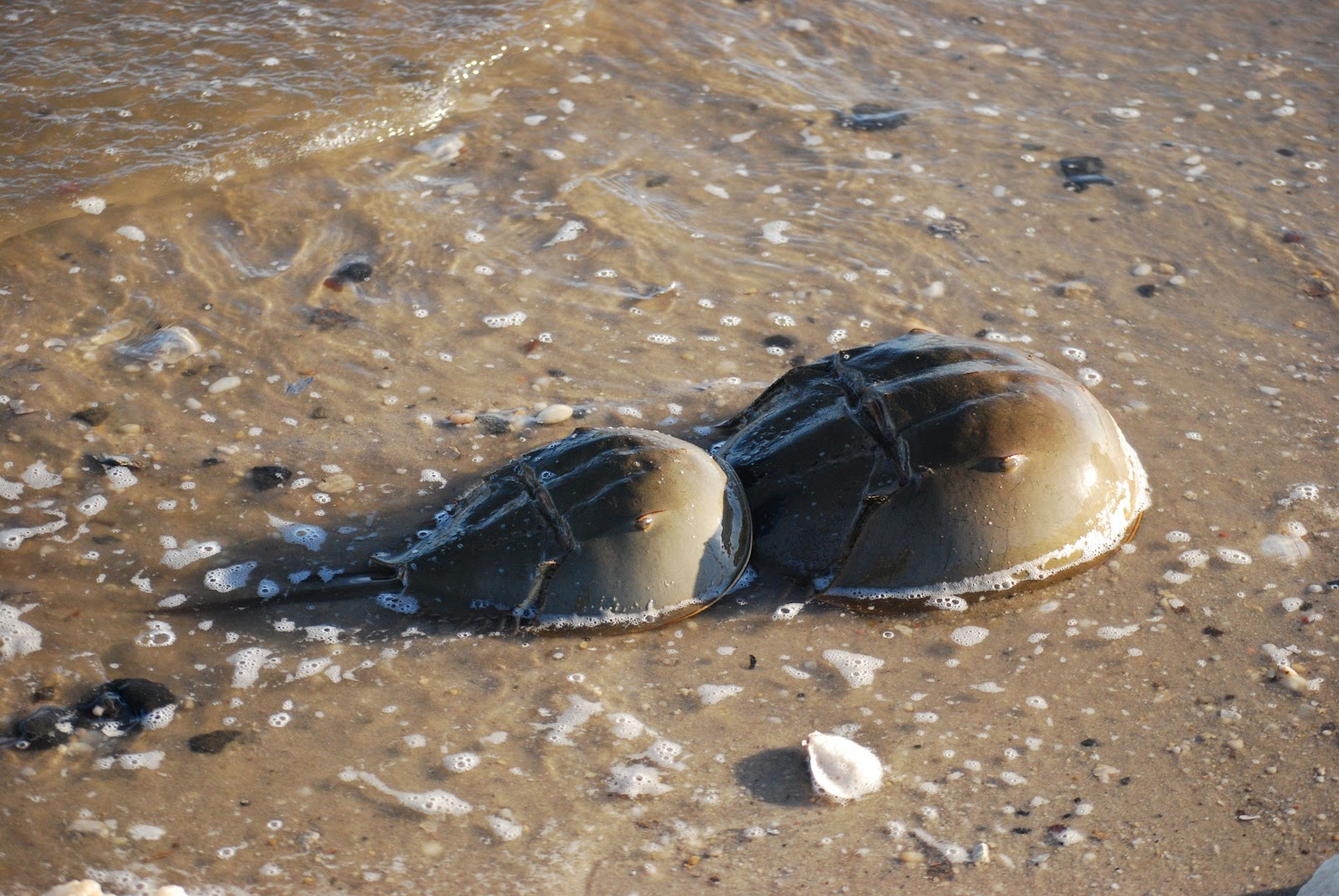 Horseshoe Crab | The Life of Animals