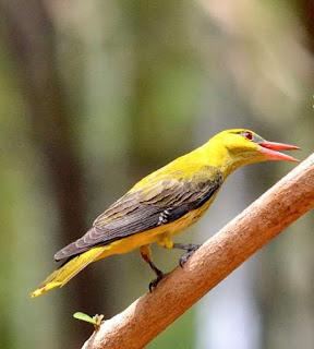 juvenile - Oriolus kundoo