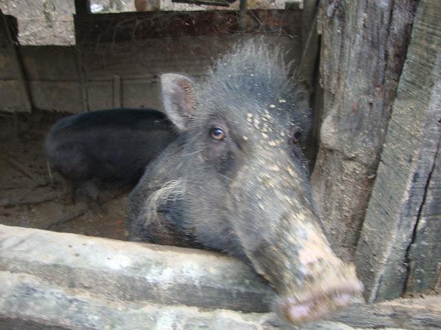 Wild Hog, Casiguran, Aurora Province, Philippines