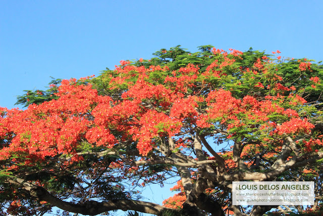 with this fire tree in Hyatt Hotel in Guam