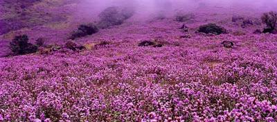 Το πανέμορφο λουλούδι που ανθίζει κάθε 12 χρόνια! (φώτο)