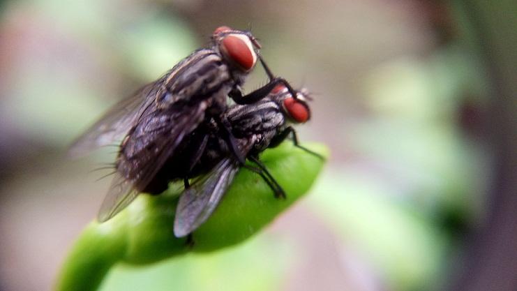 Mengapa Lalat Berkembang Cepat, Hingga Sangat Banyak?