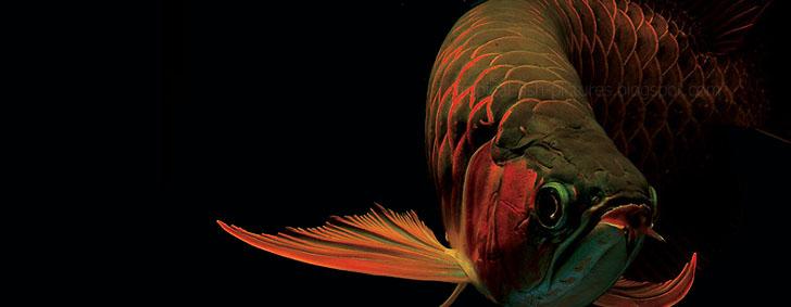 Asian Red arowanaer Til salg Exotic Tropical Ornamental-1005