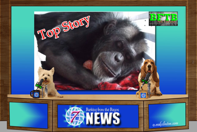 BFTB NETWoof News Top Story Joe the Chimp