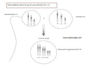 Un zygote est le résultat du mécanisme de la fécondation.