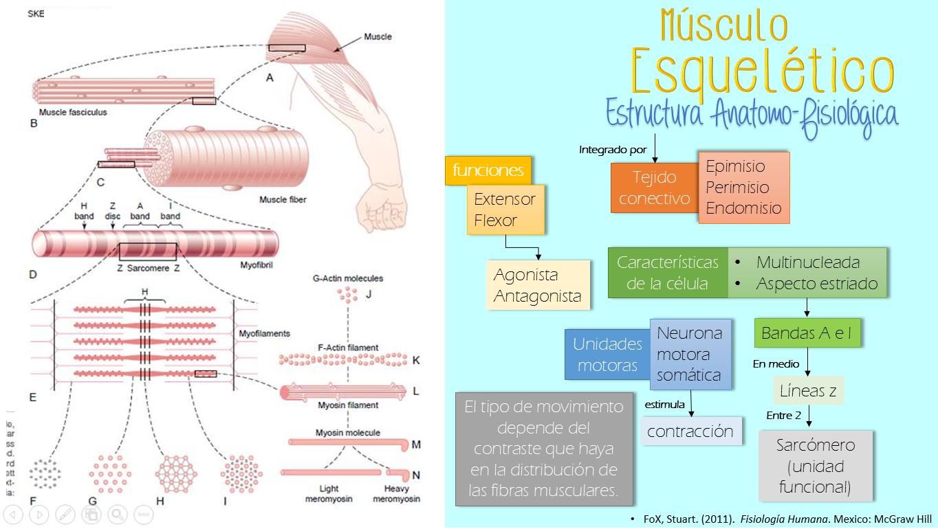 Neo médico : Musculo esqueletico: organizacion