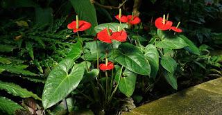 Gambar Bunga Anthurium Cantik