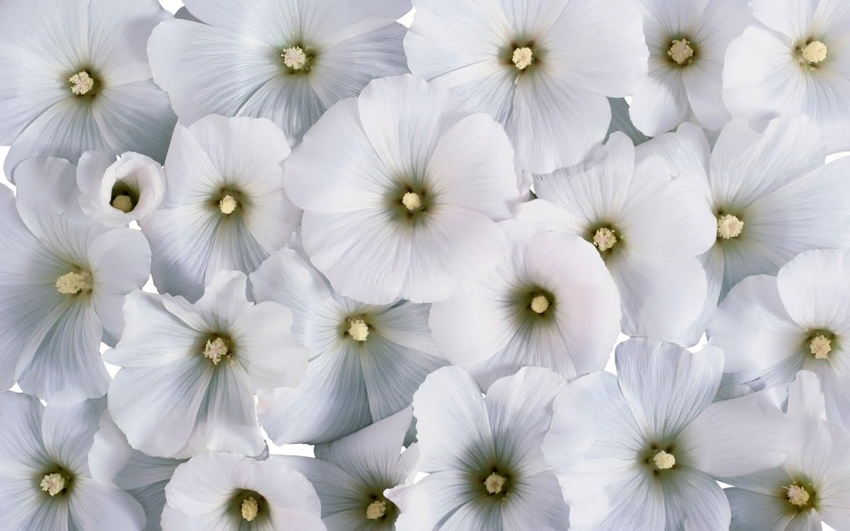 White Flowers Widescreen HD Wallpaper