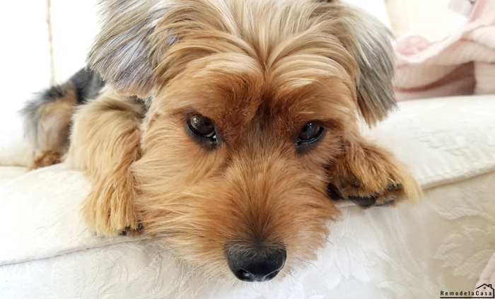 Yorkshire Terrier laying on sofa