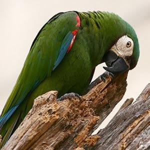 Severe Macaw Mini