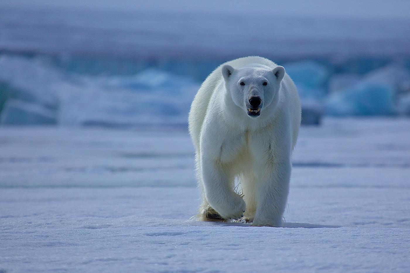 Imagenes De Osos Polares: IMAGENES DE OSOS POLARES: FOTO DE OSO POLAR SOLITARIO