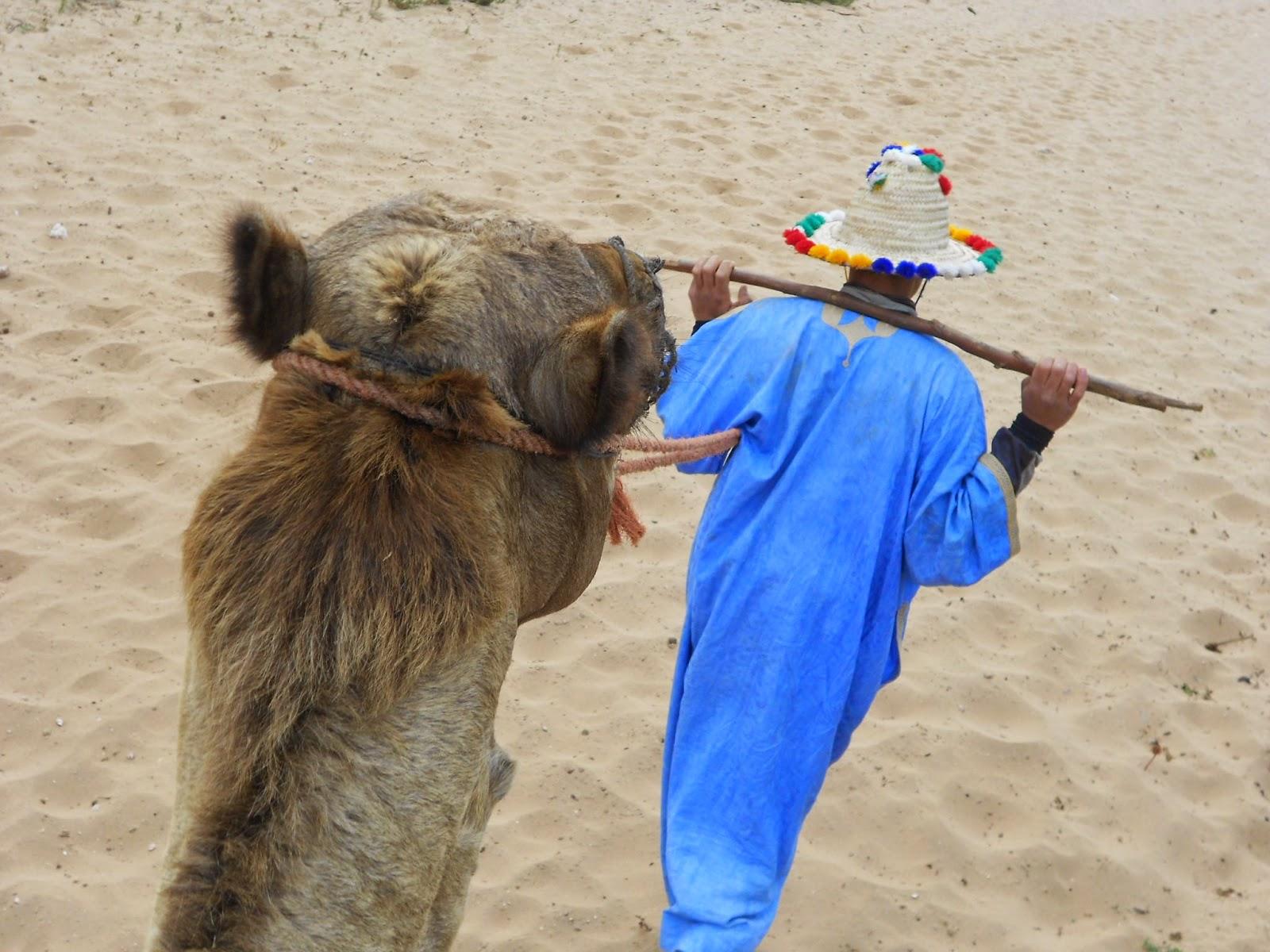 Agadir - Maroc - Morocco - Dromadaire