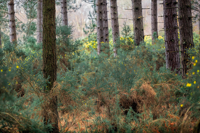Forest floor vegetation in a beautiful pine forest in Dorset