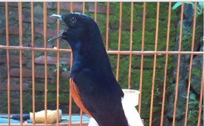 Mp3 Kicauan Burung Murai Batu Medan