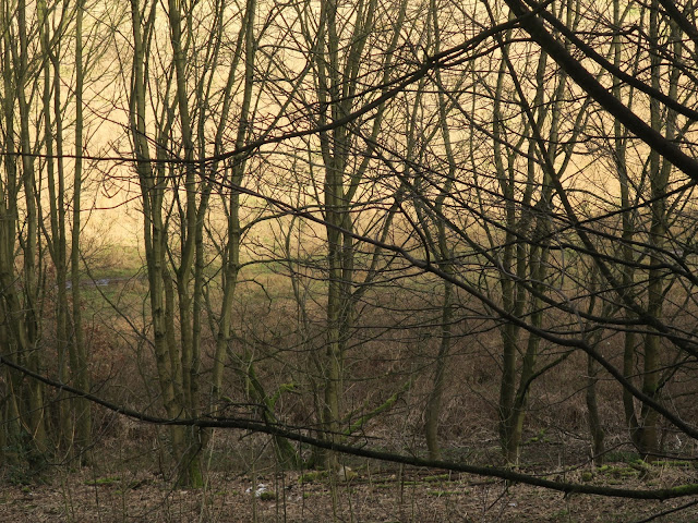 Bare trees in winter woods. Halifax, West Yorkshire.