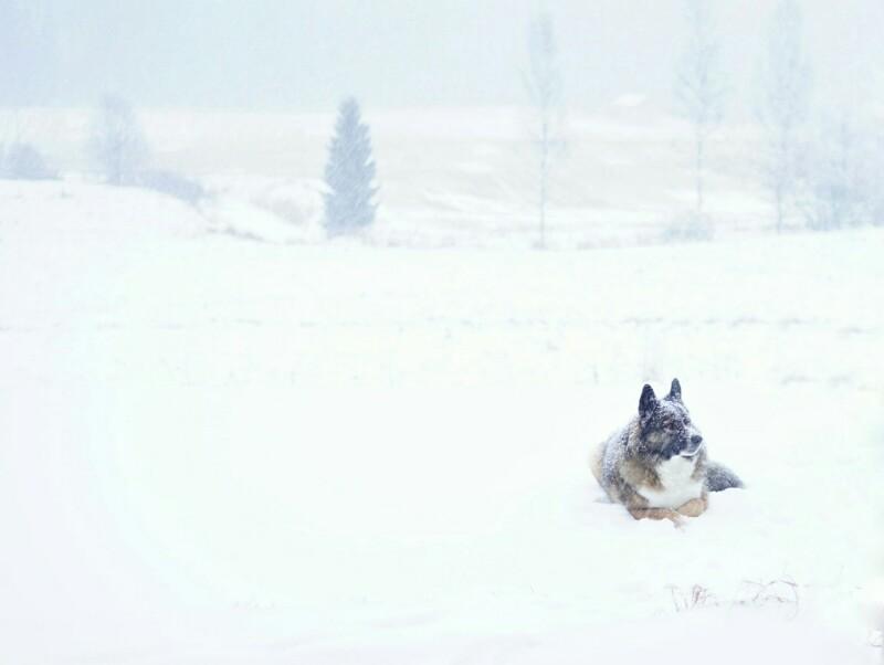 Koira, lumisade, maalla