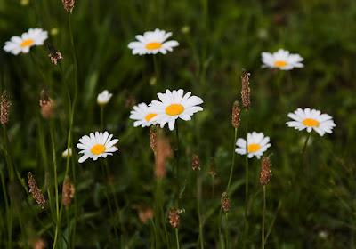 Pyrethrum (Chrysanthemum Cinerariifolium) Overview, Health Benefits, Side effects