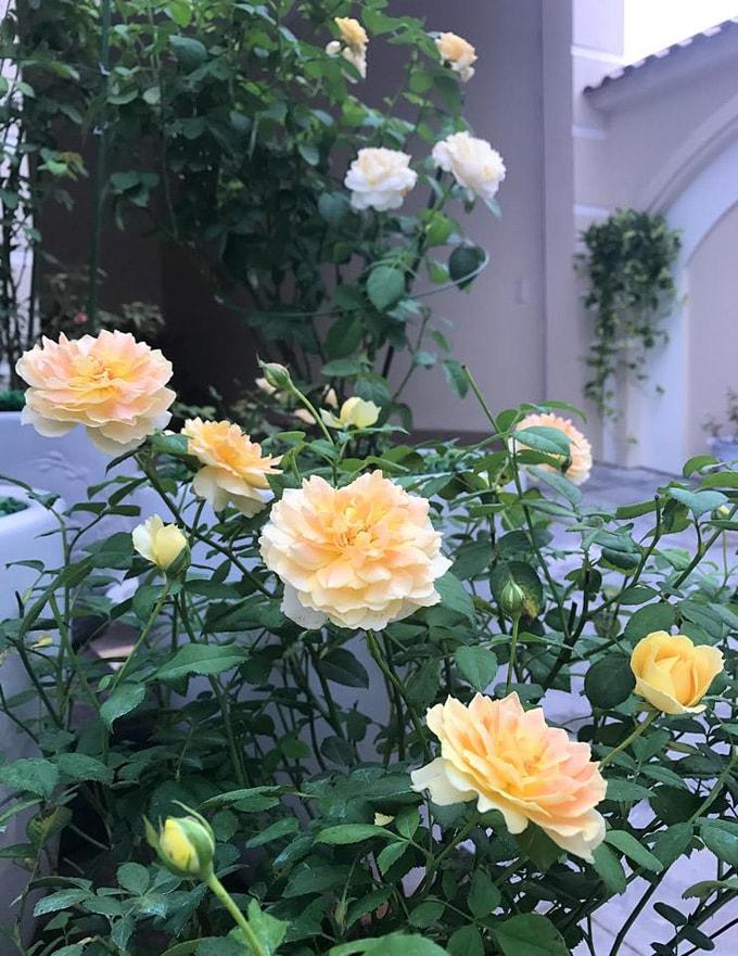 Sân vườn 50 m2 phủ kín hoa hồng của bà mẹ Hòa Bình -13