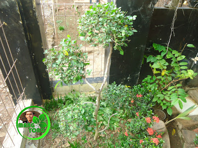Vidio : Pemangkasan bonsai Serut menggunakan pisau