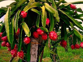 memangkas-pohon-buah-naga.jpg
