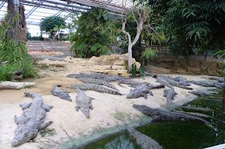 Cocodrilos del Nilo de la Granja de Cocodrilos.