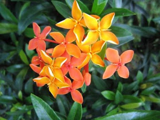 Gambar Bunga Asoka Berbagai Warna 2